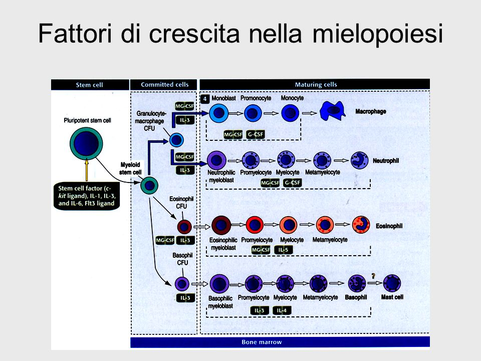 Fattori di crescita nella mielopoiesi