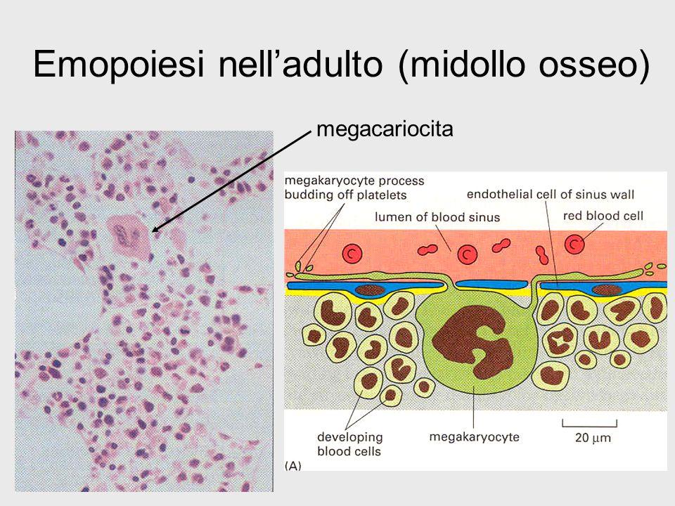 Emopoiesi nell'adulto (midollo osseo)