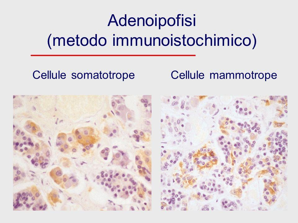 Adenoipofisi (metodo immunoistochimico)