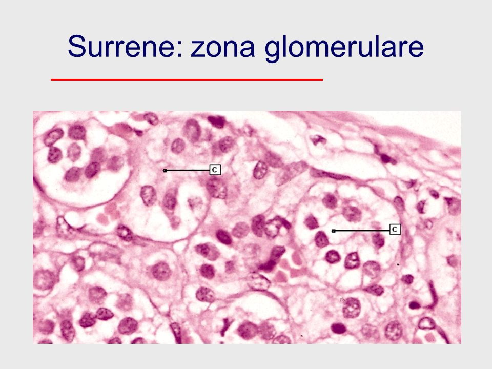 Surrene: zona glomerulare