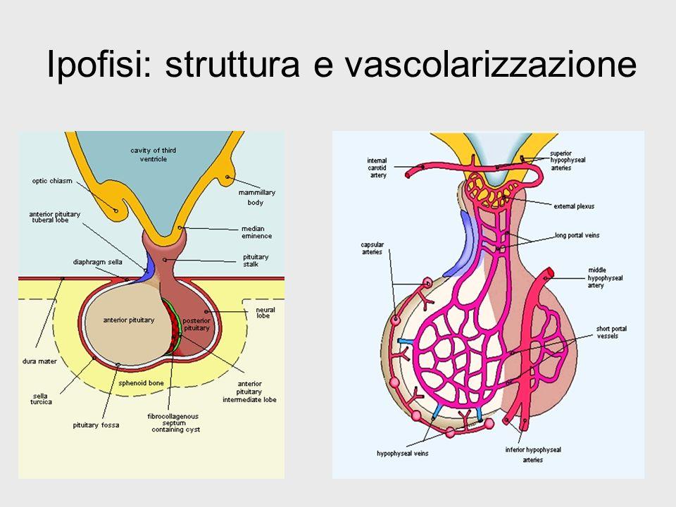 Ipofisi: struttura e vascolarizzazione