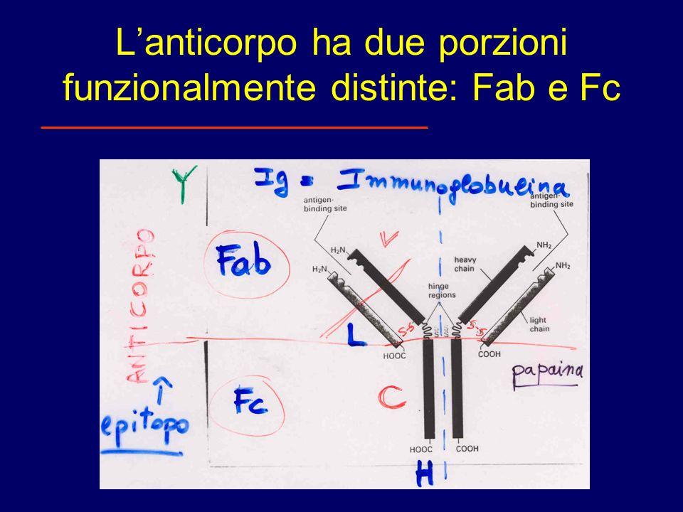 L'anticorpo ha due porzioni funzionalmente distinte: Fab e Fc