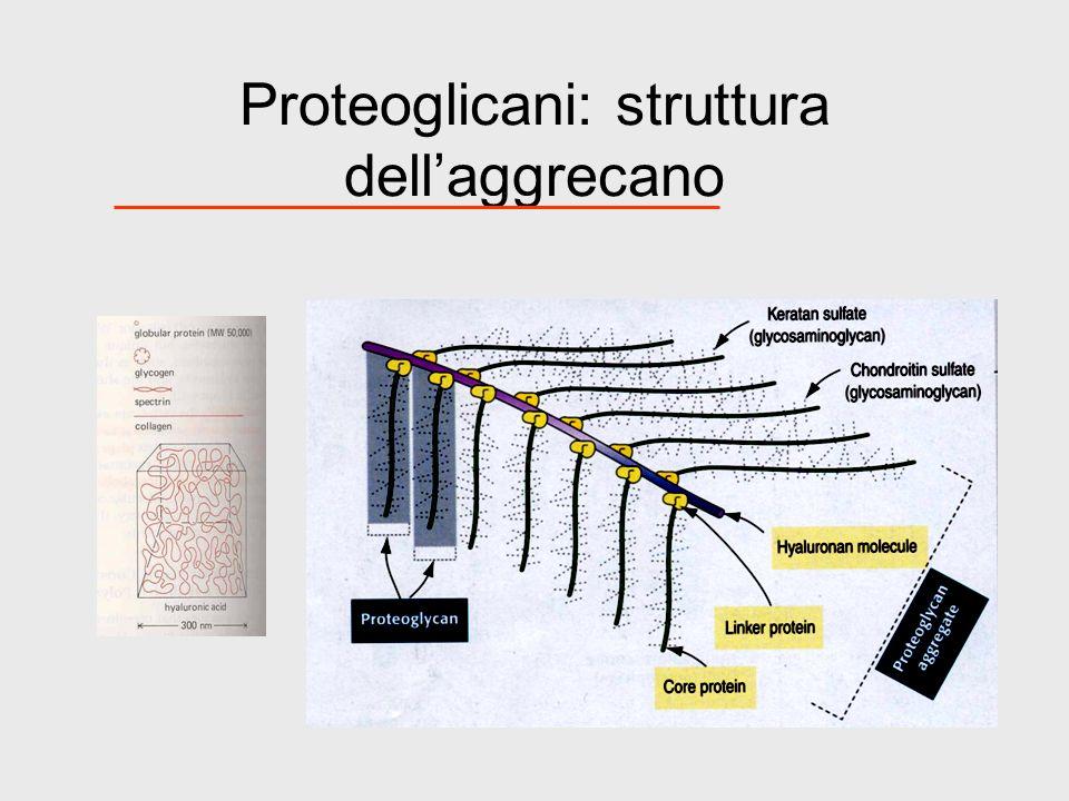 Proteoglicani: struttura dell'aggrecano