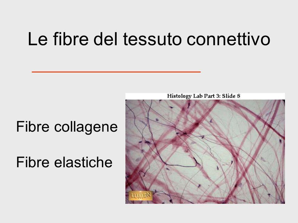 Le fibre del tessuto connettivo