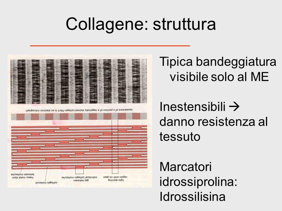 Collagene: struttura Tipica bandeggiatura visibile solo al ME