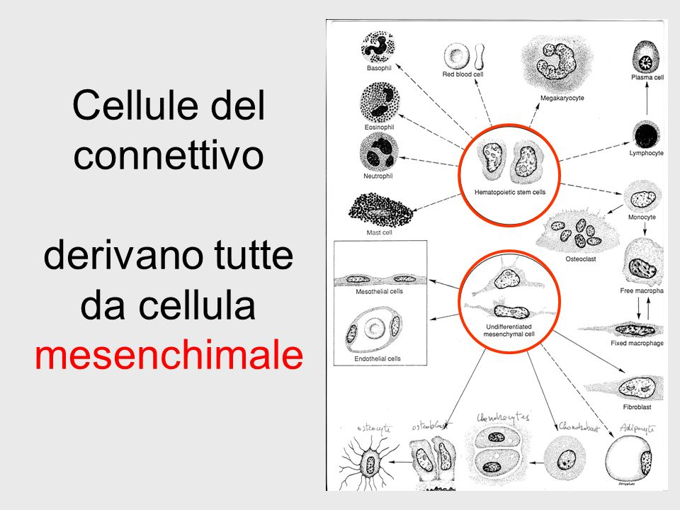 Cellule del connettivo derivano tutte da cellula mesenchimale