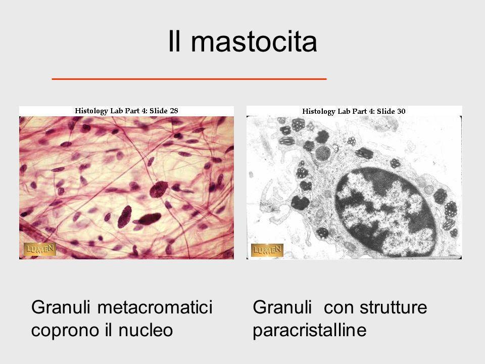 Il mastocita Granuli metacromatici coprono il nucleo