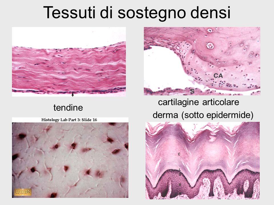 Tessuti di sostegno densi
