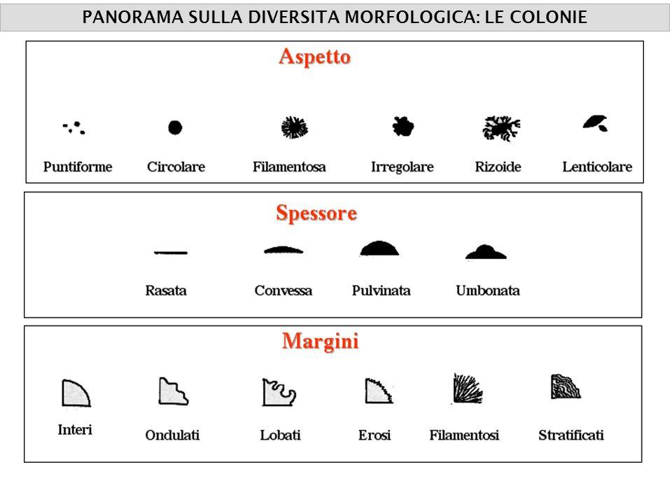 PANORAMA SULLA DIVERSITA MORFOLOGICA: LE COLONIE