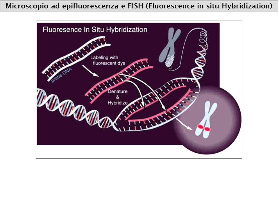 Microscopio ad epifluorescenza e FISH (Fluorescence in situ Hybridization)