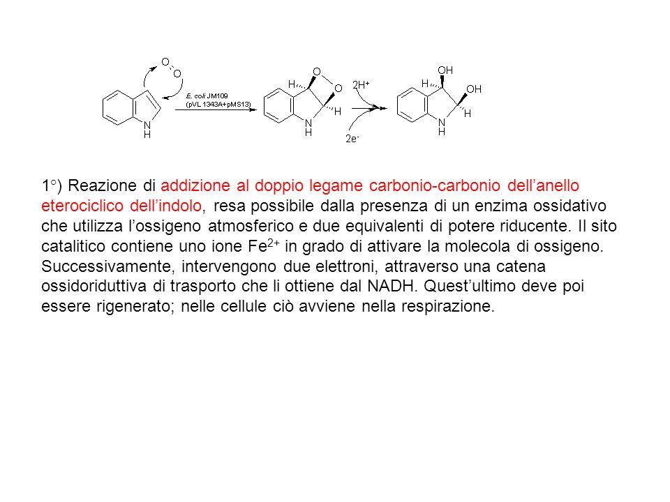 1°) Reazione di addizione al doppio legame carbonio-carbonio dell'anello eterociclico dell'indolo, resa possibile dalla presenza di un enzima ossidativo che utilizza l'ossigeno atmosferico e due equivalenti di potere riducente.