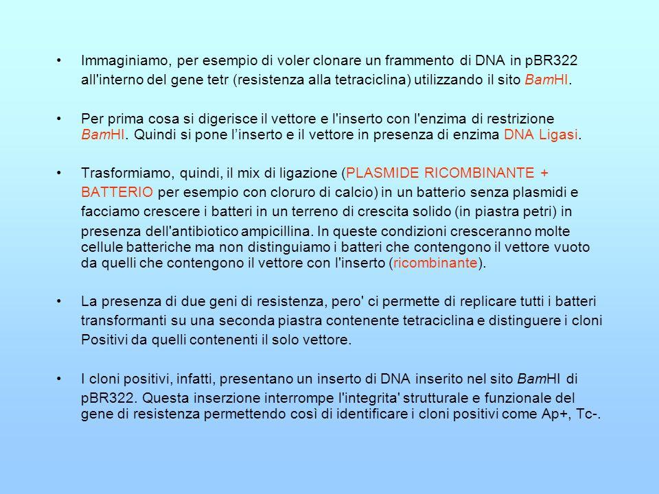 Immaginiamo, per esempio di voler clonare un frammento di DNA in pBR322
