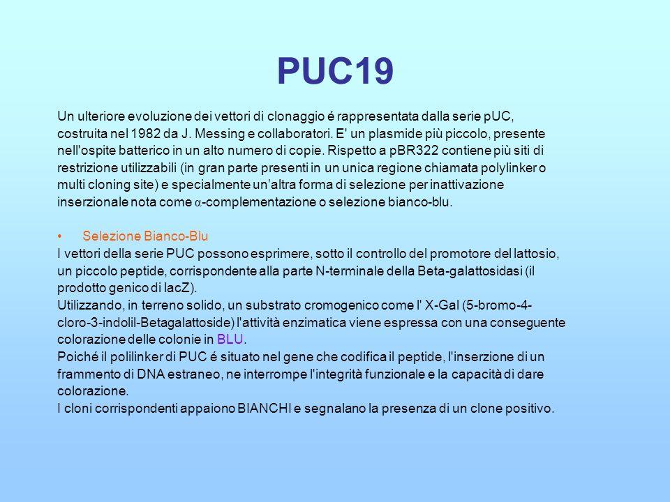 PUC19 Un ulteriore evoluzione dei vettori di clonaggio é rappresentata dalla serie pUC,