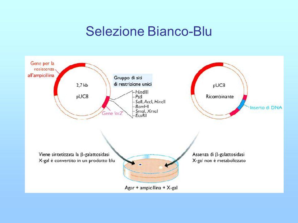 Selezione Bianco-Blu