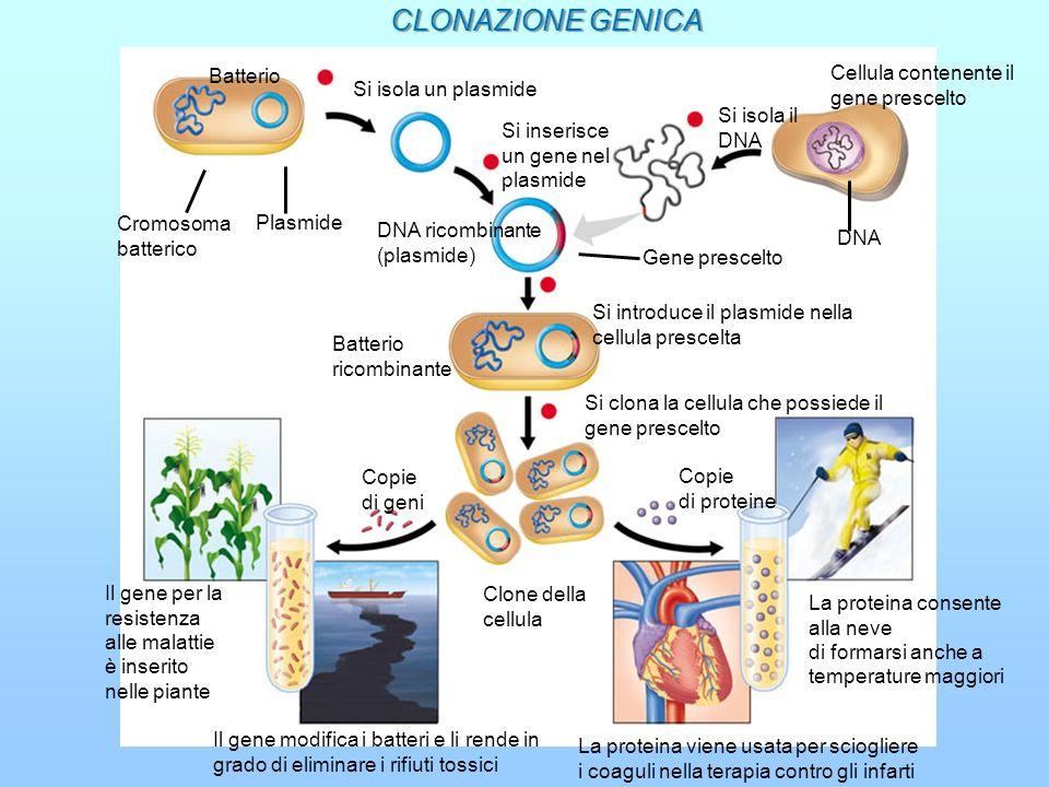 CLONAZIONE GENICA Cellula contenente il gene prescelto Batterio