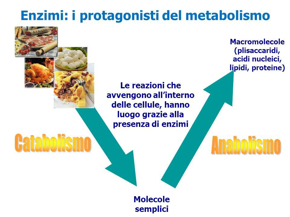 Catabolismo Anabolismo Enzimi: i protagonisti del metabolismo
