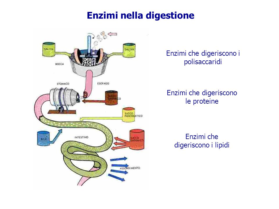 Enzimi nella digestione