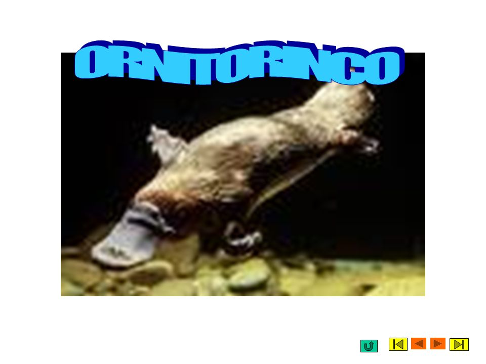 ORNITORINCO