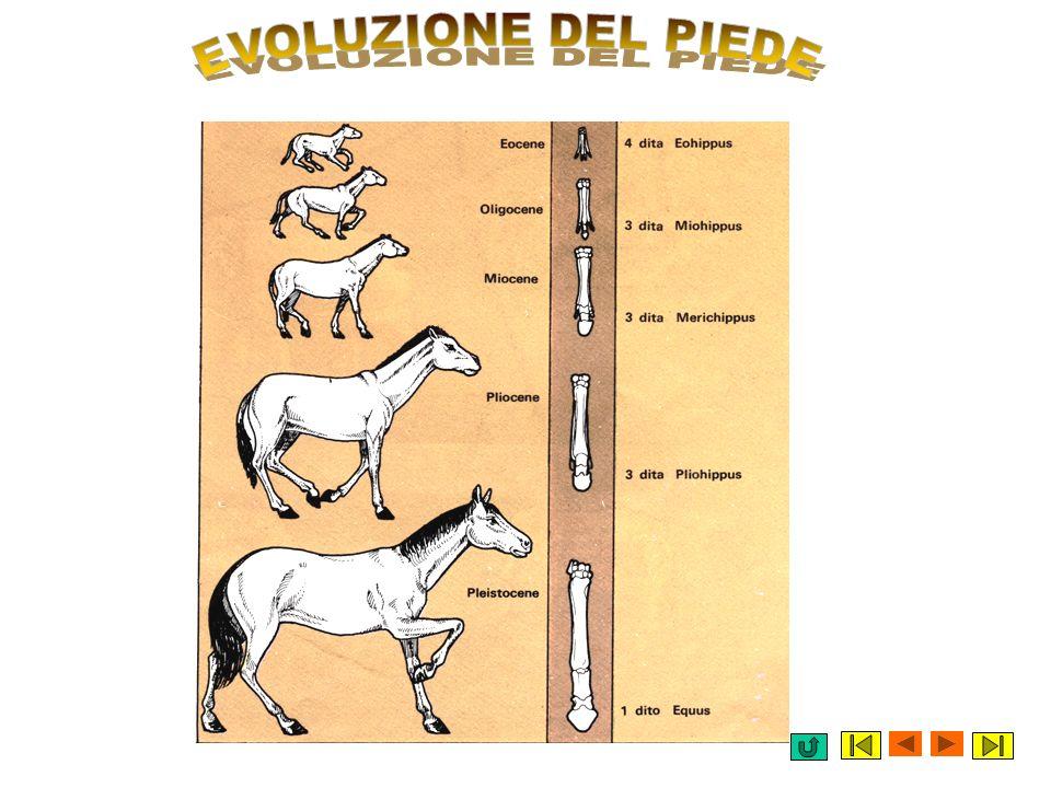 EVOLUZIONE DEL PIEDE