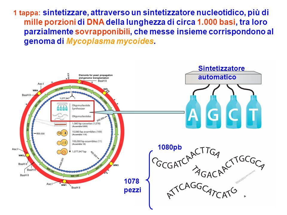 1 tappa: sintetizzare, attraverso un sintetizzatore nucleotidico, più di mille porzioni di DNA della lunghezza di circa 1.000 basi, tra loro parzialmente sovrapponibili, che messe insieme corrispondono al genoma di Mycoplasma mycoides.