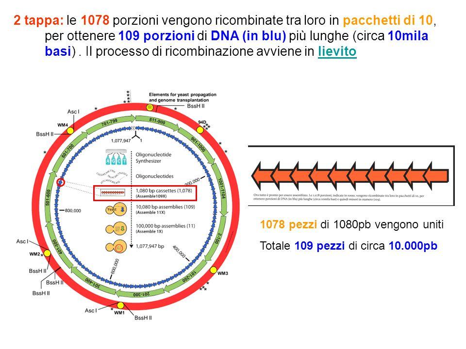 2 tappa: le 1078 porzioni vengono ricombinate tra loro in pacchetti di 10, per ottenere 109 porzioni di DNA (in blu) più lunghe (circa 10mila basi) . Il processo di ricombinazione avviene in lievito