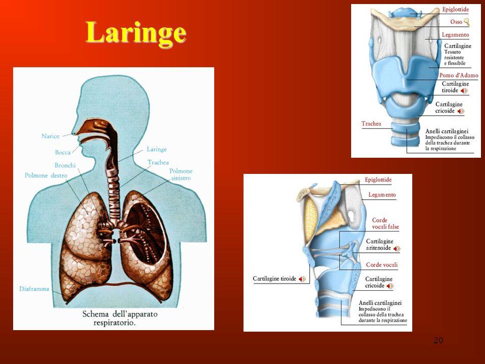 Laringe 20