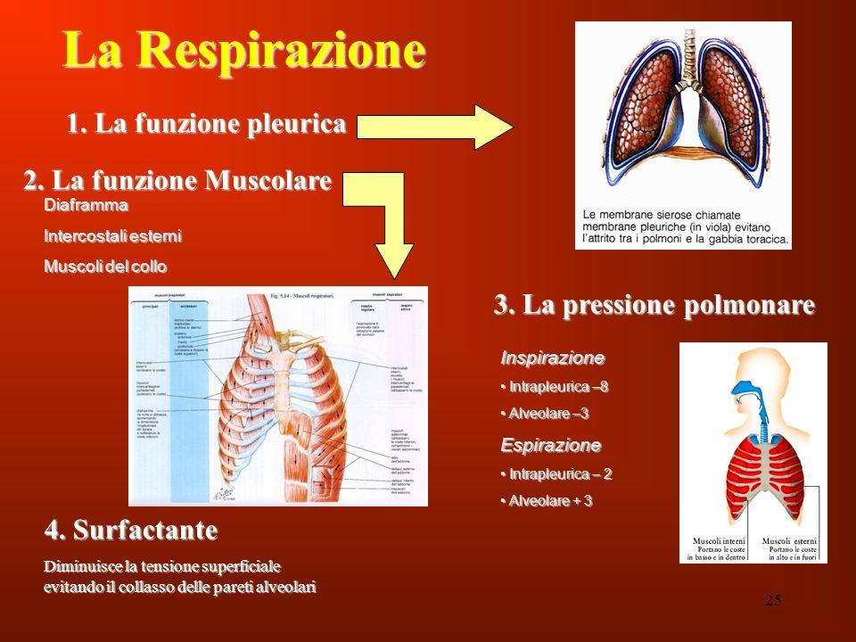 La Respirazione 1. La funzione pleurica 2. La funzione Muscolare