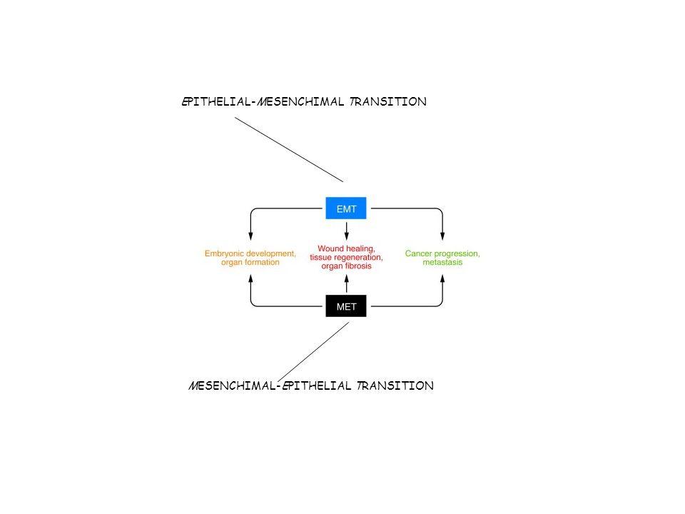 EPITHELIAL-MESENCHIMAL TRANSITION