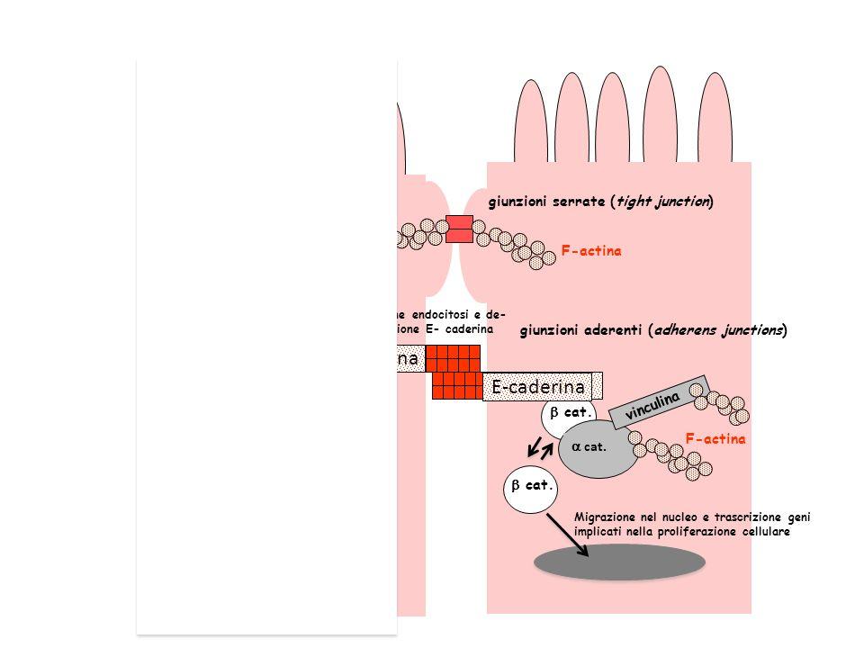 E-caderina E-caderina giunzioni serrate (tight junction) F-actina