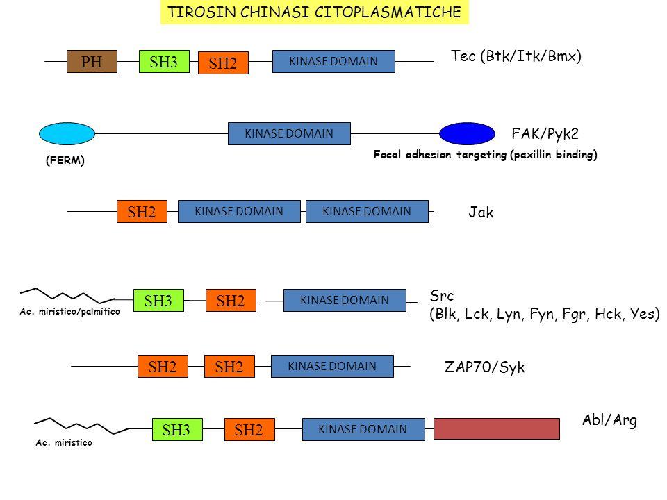SH3 SH2 PH SH2 SH3 SH2 SH2 SH3 SH2 TIROSIN CHINASI CITOPLASMATICHE