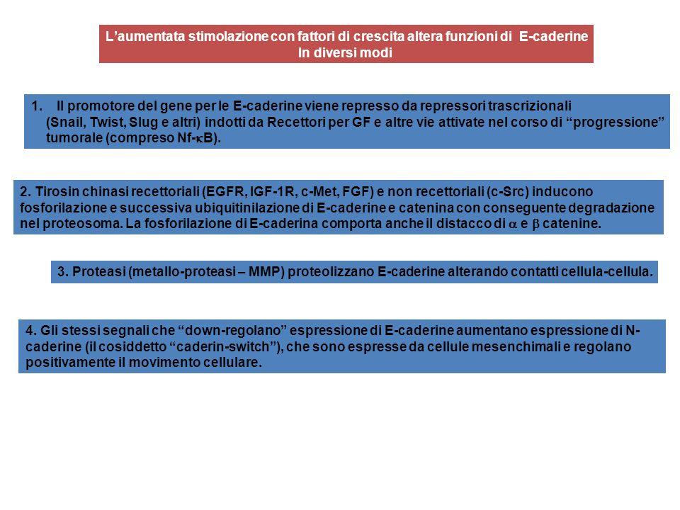 L'aumentata stimolazione con fattori di crescita altera funzioni di E-caderine