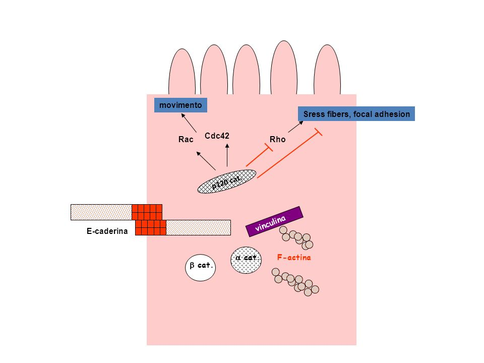 movimento Sress fibers, focal adhesion. Cdc42. Rac. Rho. p120 cat. vinculina. E-caderina. a cat.