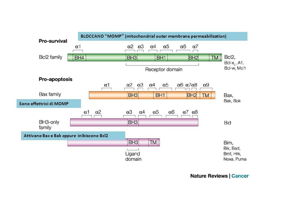 BLOCCANO MOMP (mitochondrial outer membrane permeabilization)