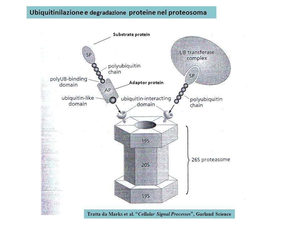 Ubiquitinilazione e degradazione proteine nel proteosoma