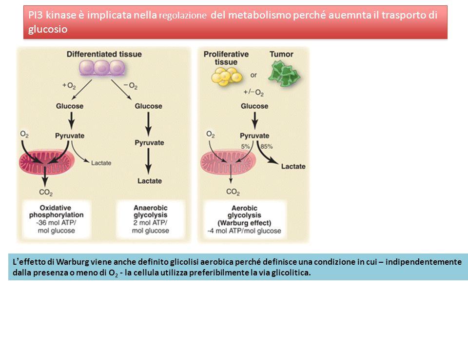 PI3 kinase è implicata nella regolazione del metabolismo perché auemnta il trasporto di