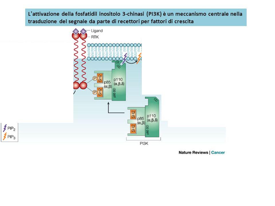 L'attivazione della fosfatidil inositolo 3-chinasi (PI3K) è un meccanismo centrale nella
