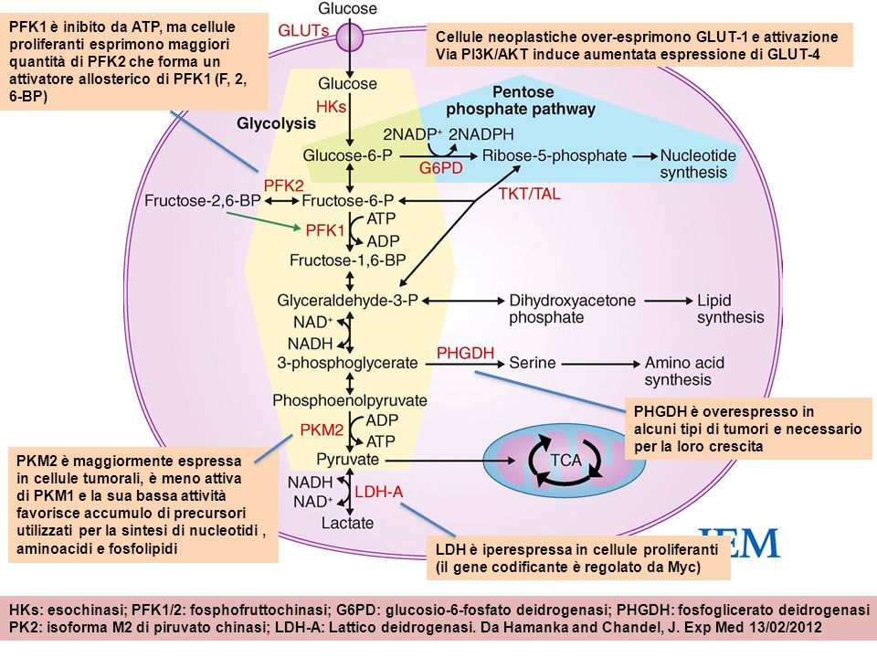 PFK1 è inibito da ATP, ma cellule