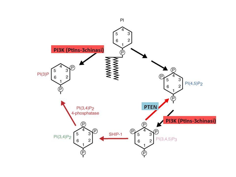 PI3K (PtIns-3chinasi) PTEN PI3K (PtIns-3chinasi)