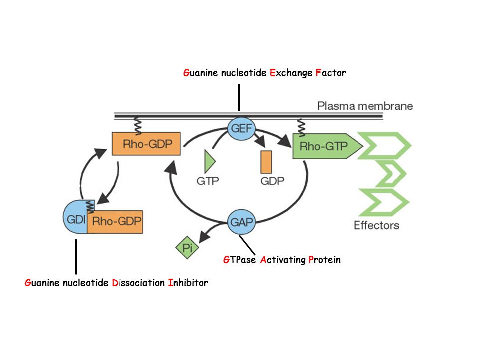 Guanine nucleotide Exchange Factor