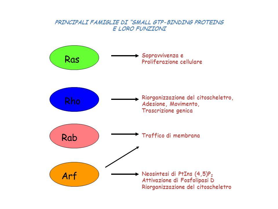 PRINCIPALI FAMIGLIE DI SMALL GTP-BINDING PROTEINS