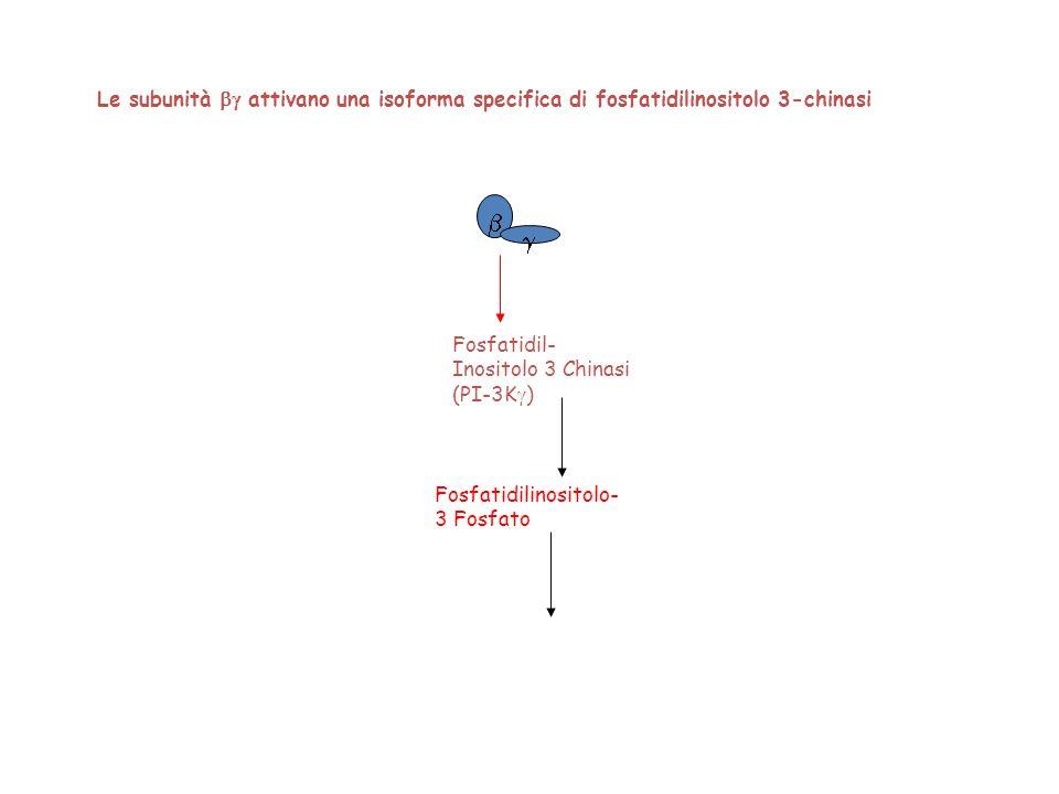 Le subunità bg attivano una isoforma specifica di fosfatidilinositolo 3-chinasi