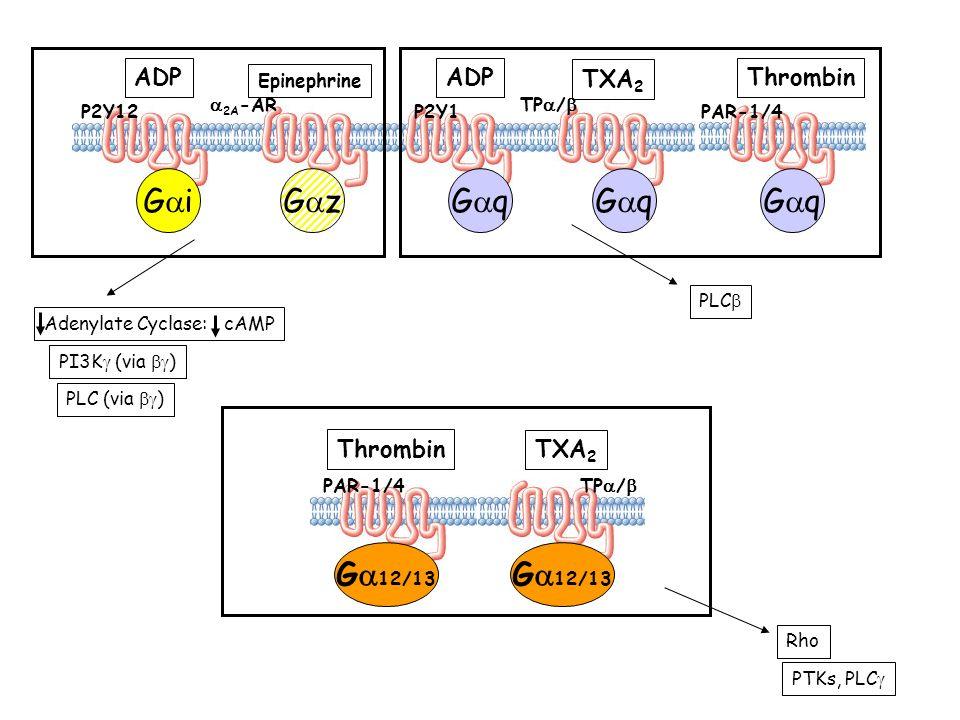 Gai Gaz Gaq Gaq Gaq Ga12/13 Ga12/13 ADP ADP Thrombin TXA2 Thrombin