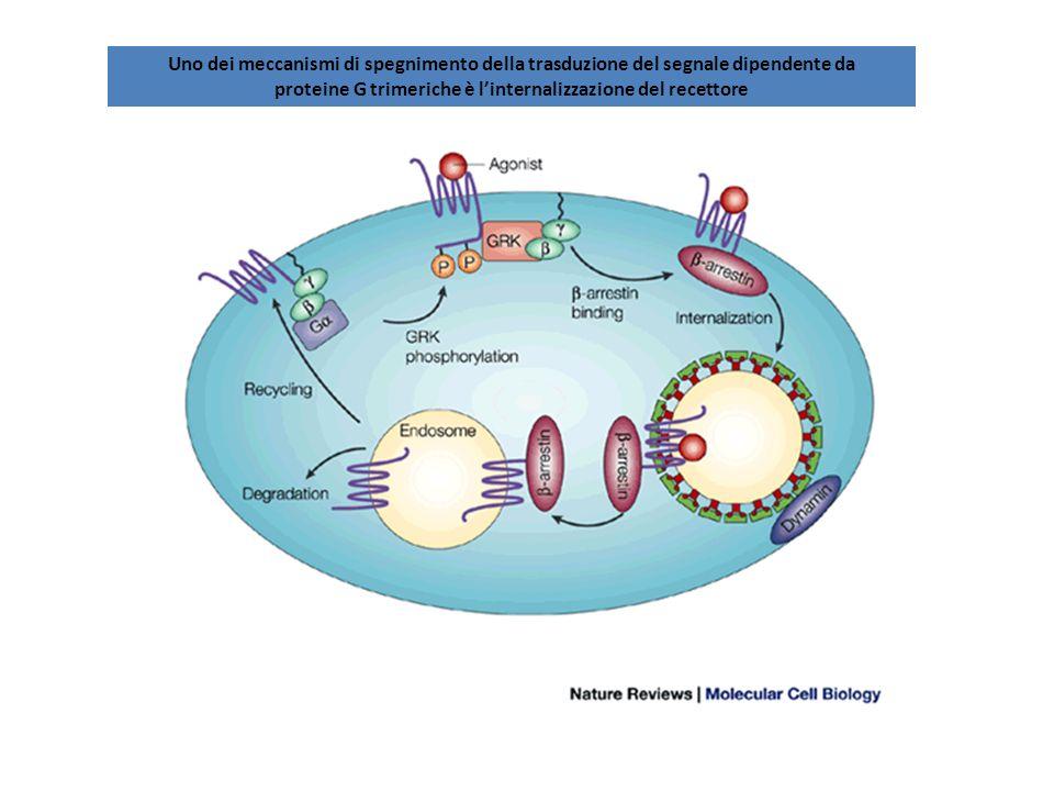 proteine G trimeriche è l'internalizzazione del recettore