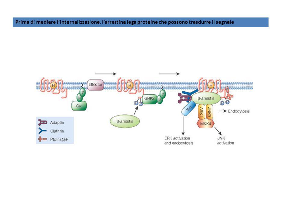 Prima di mediare l'internalizzazione, l'arrestina lega proteine che possono trasdurre il segnale