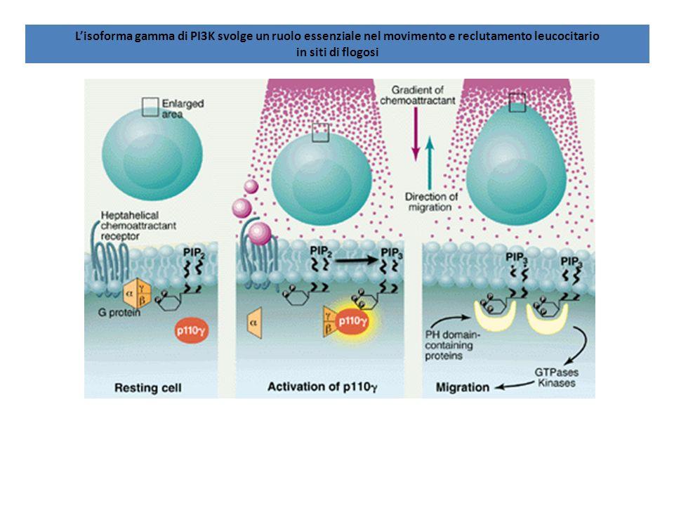 L'isoforma gamma di PI3K svolge un ruolo essenziale nel movimento e reclutamento leucocitario