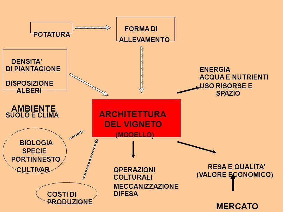 AMBIENTE ARCHITETTURA DEL VIGNETO MERCATO FORMA DI POTATURA