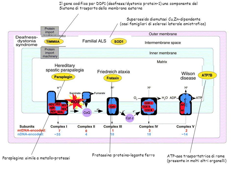 Sistema di trasporto della membrana esterna