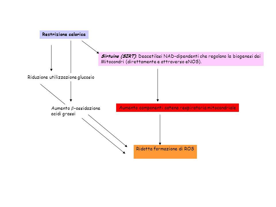 Restrizione calorica Sirtuine (SIRT): Deacetilasi NAD-dipendenti che regolano la biogenesi dei. Mitocondri (direttamente e attraverso eNOS).