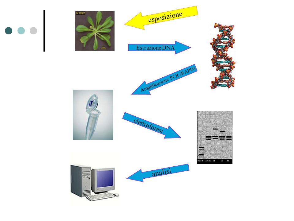 Amplificazione PCR (RAPD)