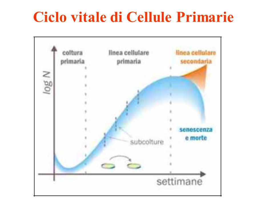 Ciclo vitale di Cellule Primarie